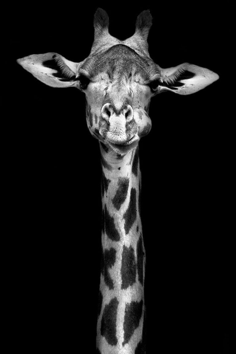 a-giraffes-tale-1